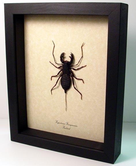 Hypoctonus rangunensis Whip Scorpion