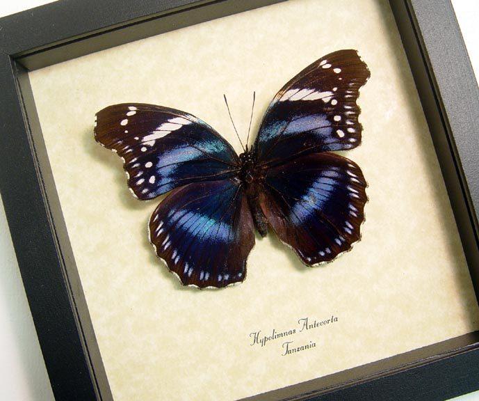 Hypolimnas antevorta Purple African Butterfly