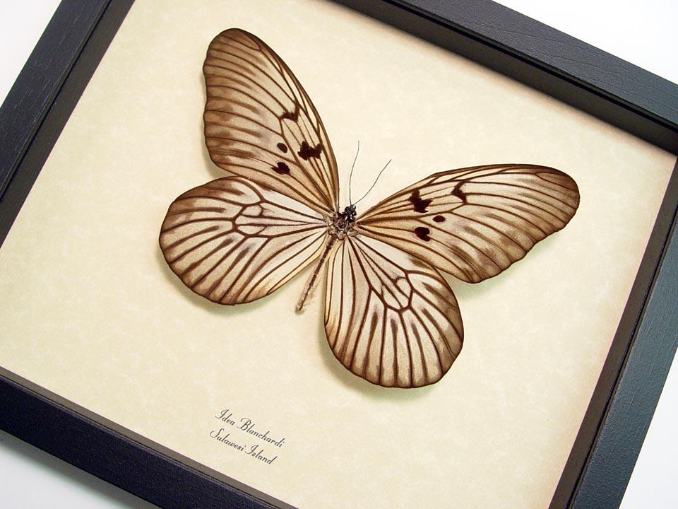 Idea blanchardi Rice Paper Butterfly