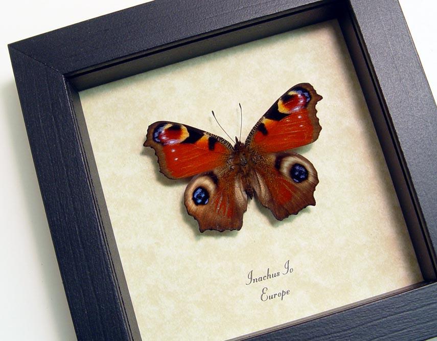 Real Framed Butterfly Inachus io European Peacock