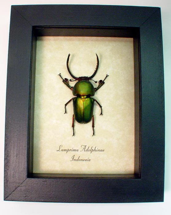 Lamprima Adolphinae Stag Beetle