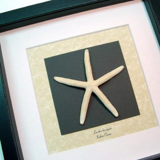 Linckia laevigata Linckia Sea Star starfish Real Framed Starfish