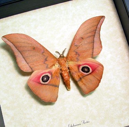 Lobobunaea Acetes Moth