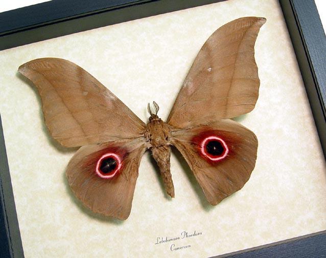 Lobobunaea Phaedusa Moth