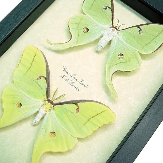 Actias Luna Moth Pair Moths