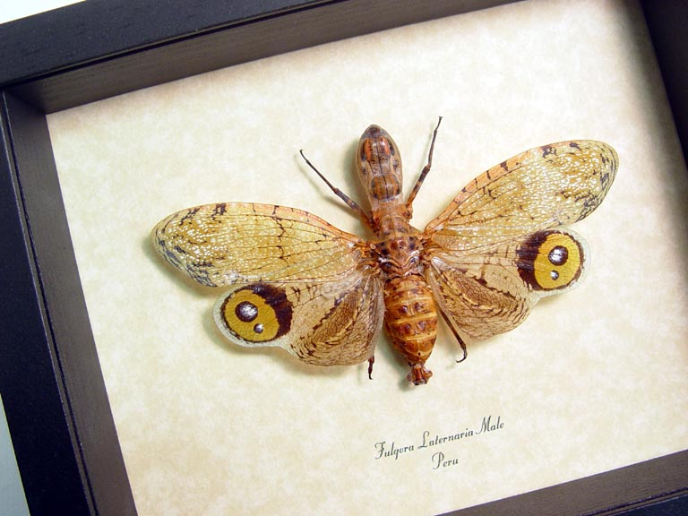Fulgora laternaria Male Peanut Head Lanternfly