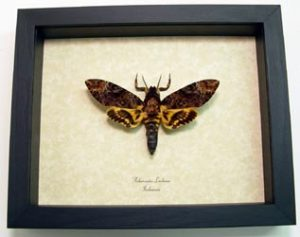 "Real Framed Death Head Moth Acherontia lachesis Male Species: Acherontia lachesis male Common Name: Death HeadMoth Native Origin: Indonesia Frame Color: black Frame size:6 1/2"" x 8"""