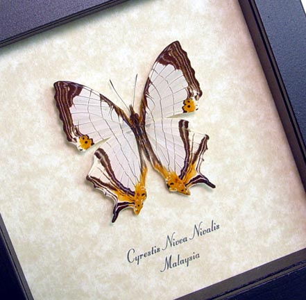Cyrestis nivea nivalis Straight line Map Wing Framed Butterfly