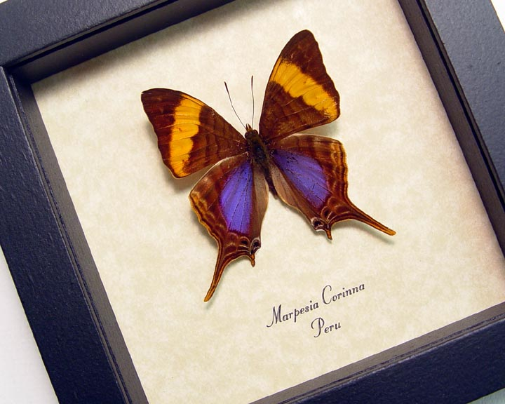 Marpesia corinna Daggerwing Butterfly