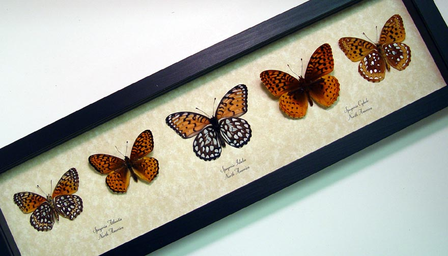 Speyeria Set Collection - Butterfly Designs - Real Framed Butterflies