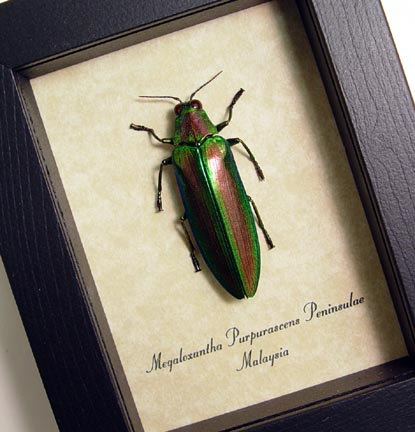 Megaloxantha purpurascens Jewel Beetle