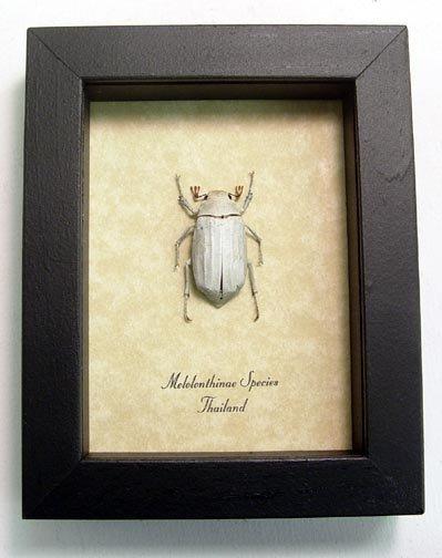 Melolonthinae Scarab Beetle