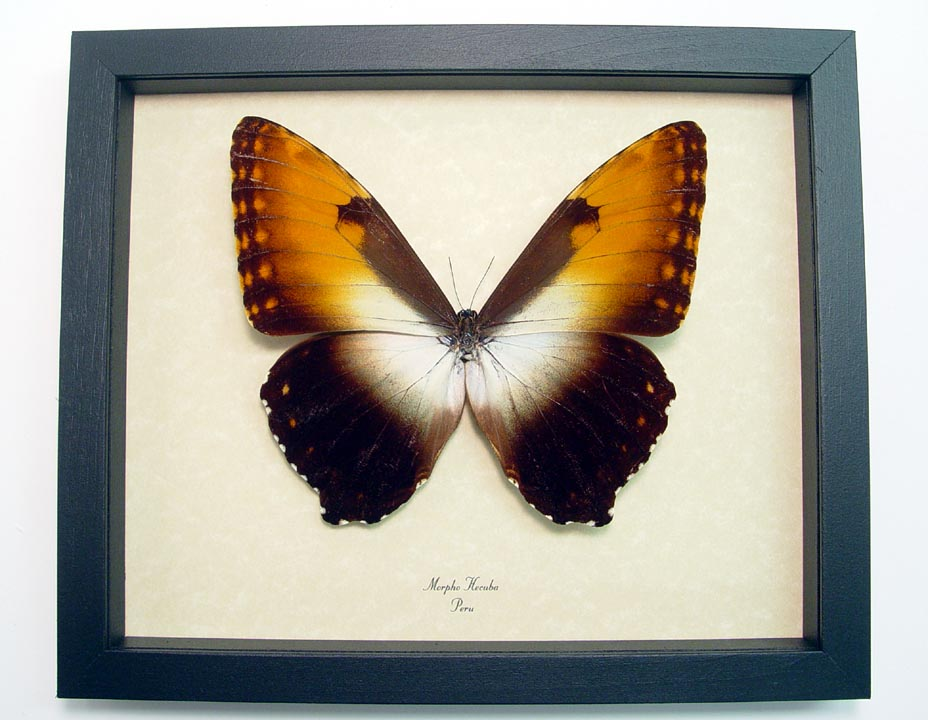 Morpho Hecuba obidona - Butterfly Designs - Real Framed Butterflies