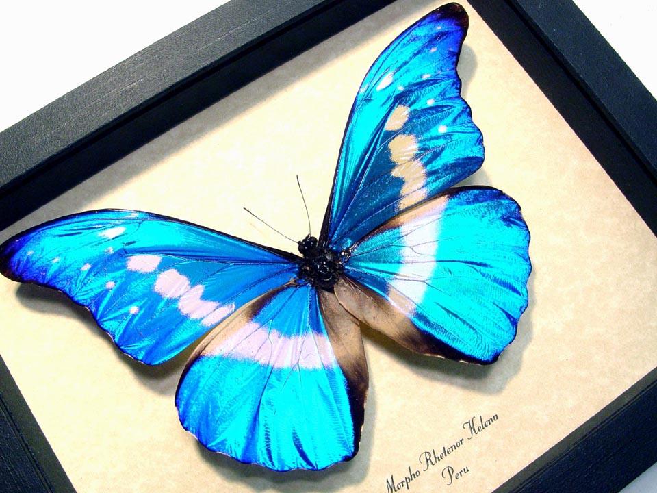 Morpho rhetenor helena Framed Morpho Butterfly