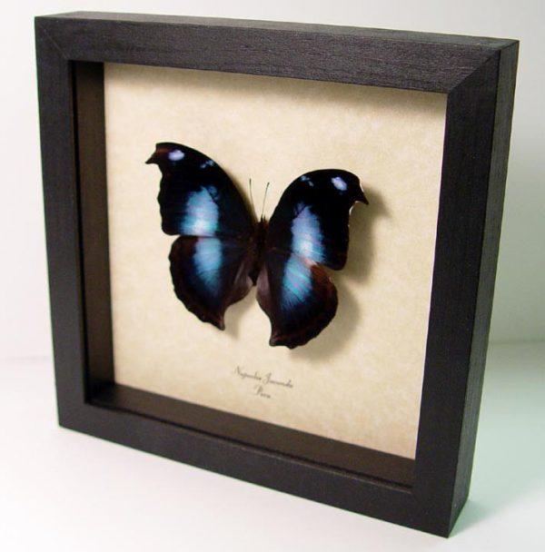 Napeocles jucunda Blue Hatchet wing Framed Butterfly