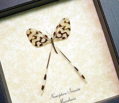 Nemoptera sinuata Spoonwing