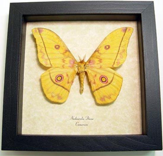 Nudaurelia Dione Silk Moth