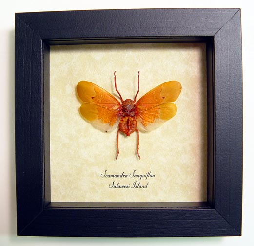Scamandra sanguiflua Sunburst Lanternfly