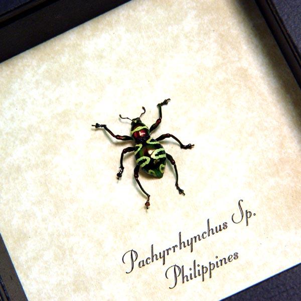 Pachyrrhynchus Squiggly Line Weevil Beetle