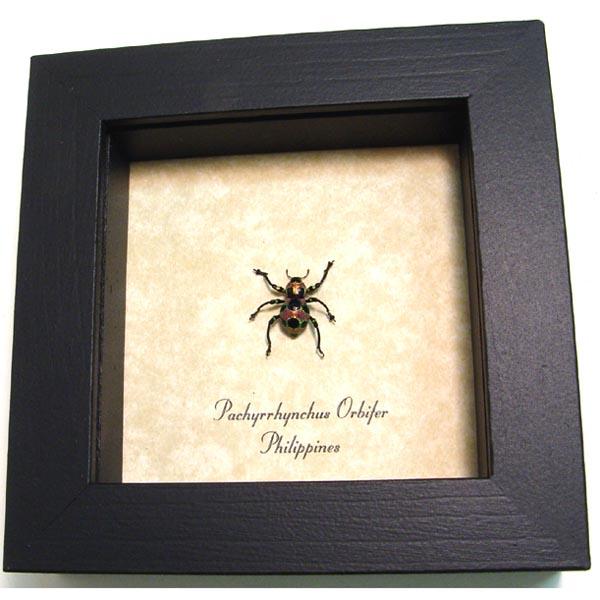 Pachyrrhynchus orbifer Weevil Beetle