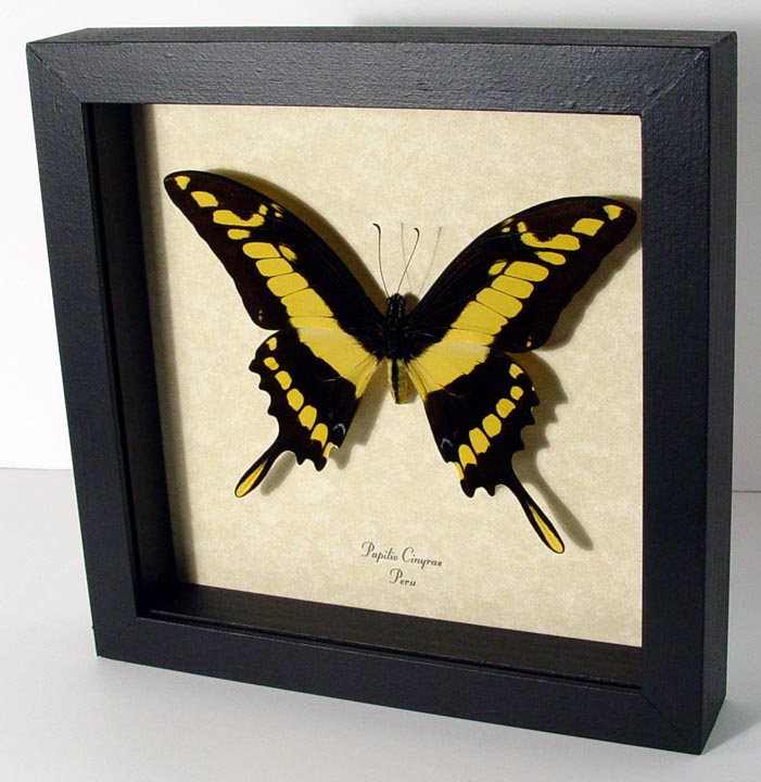 Papilio cinyras King Swallowtail
