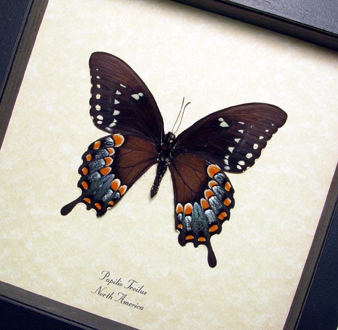 Papilio Troilus Verso Spicebush Swallowtail