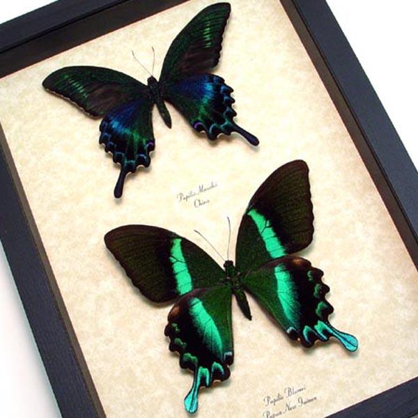 Papilio maackii blumei Peacock Butterflies