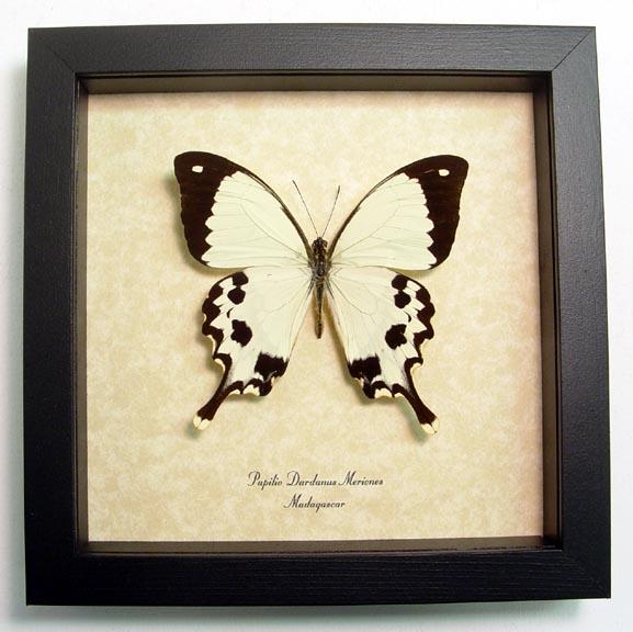 Papilio Dardanus Meriones