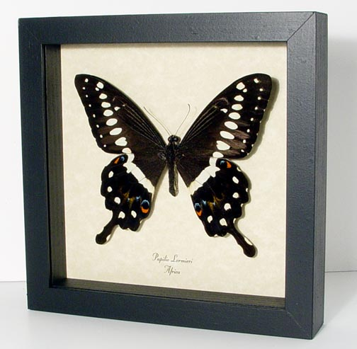 Papilio lormieri Central Emperor Swallowtail Butterfly