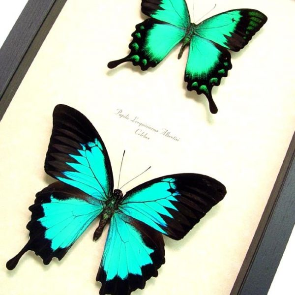 Papilio ulysses lorquinianus Set Butterflies blue mountain swallowtail