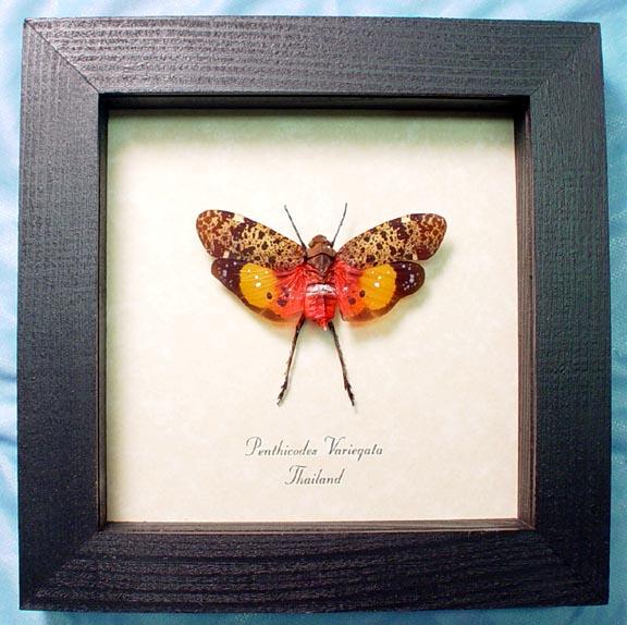 Penthicodes variegata Sunburst Lanternfly