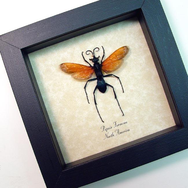 Pepsis formosa Female Tarantula Hawk Wasp