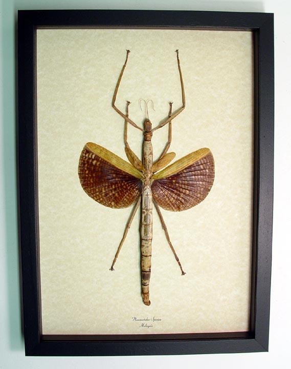 Phasmatidae Walking Stick Insect