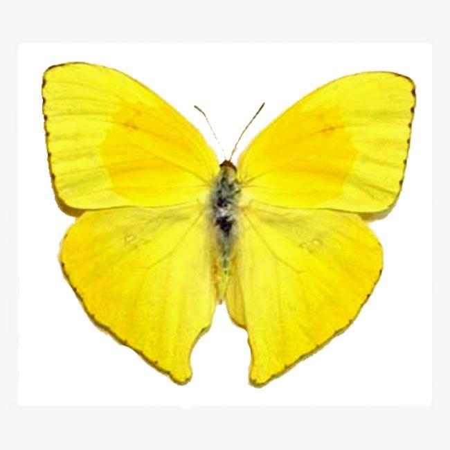 Phoebis rurina Butterfly Designs Real Framed Butterflies