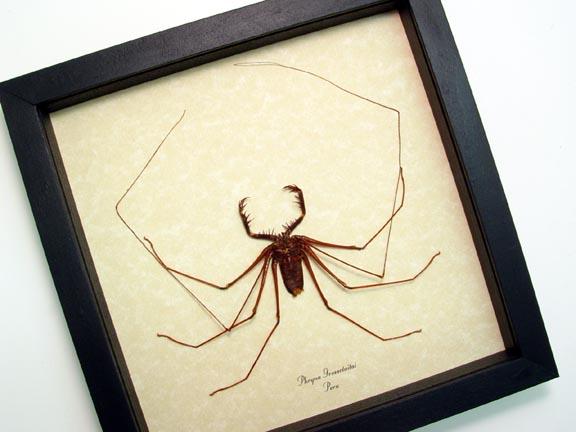 Phryna grossetaitai Cave Spider