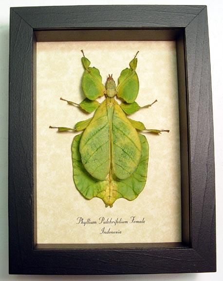 Phyllium pulchrifolium Female Walking Leaf Insect