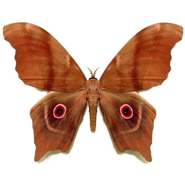 Pseudimbrasia Deyrollei Giant Moth