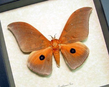 Pseudobunaea Irius Silk Moth
