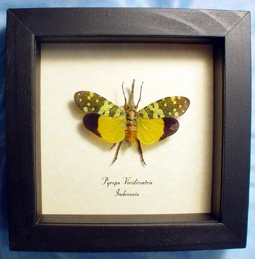 Pyrops viridirostris Green Snout Lanternfly