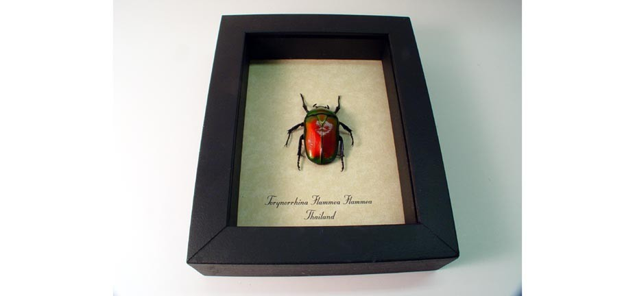 Torynorrhina flammea Red Beetle