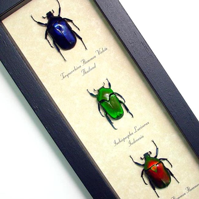 Torynorrhina Set Jewel Beetles