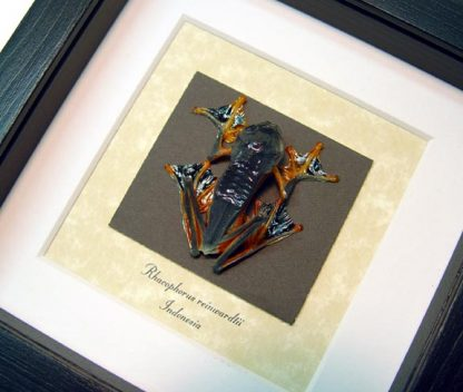 Frog - Rhacophorus Reinwardtii Leap Frog Parachute frogs Real Framed