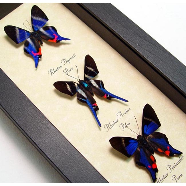 Blue Rhetus Swallowtail Butterfly Collection