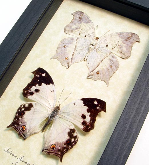 Salamis anacardii nebulosa Mother Of Pearl Butterfly