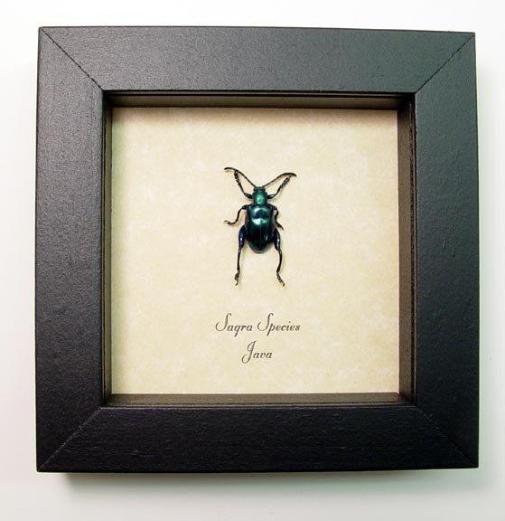 Sagra Leaf Beetle