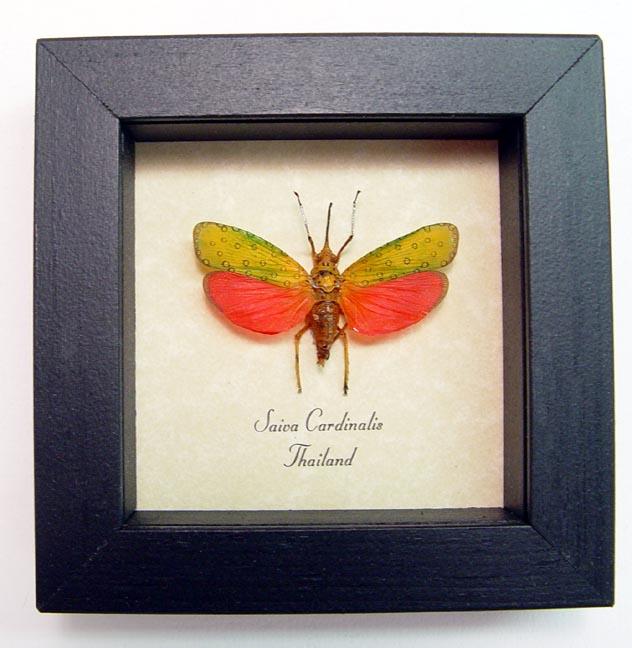 Saiva cardinalis Red Lanternfly