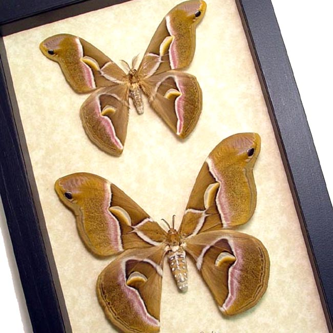 Samia Cynthia Pair Silkmoths