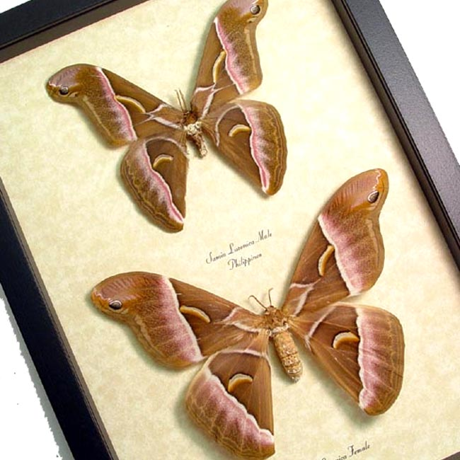 Samia luzonica Pair Silk Moths