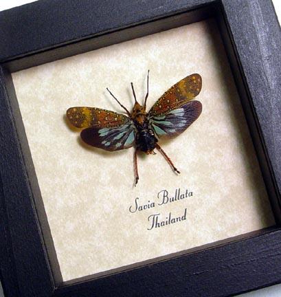 Savia bullata Long Nose Lanternfly