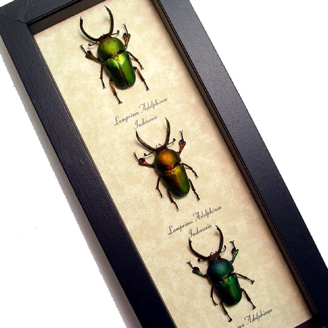 Beetle Collection Metallic Stag Beetles Lamprima adolphinae Set